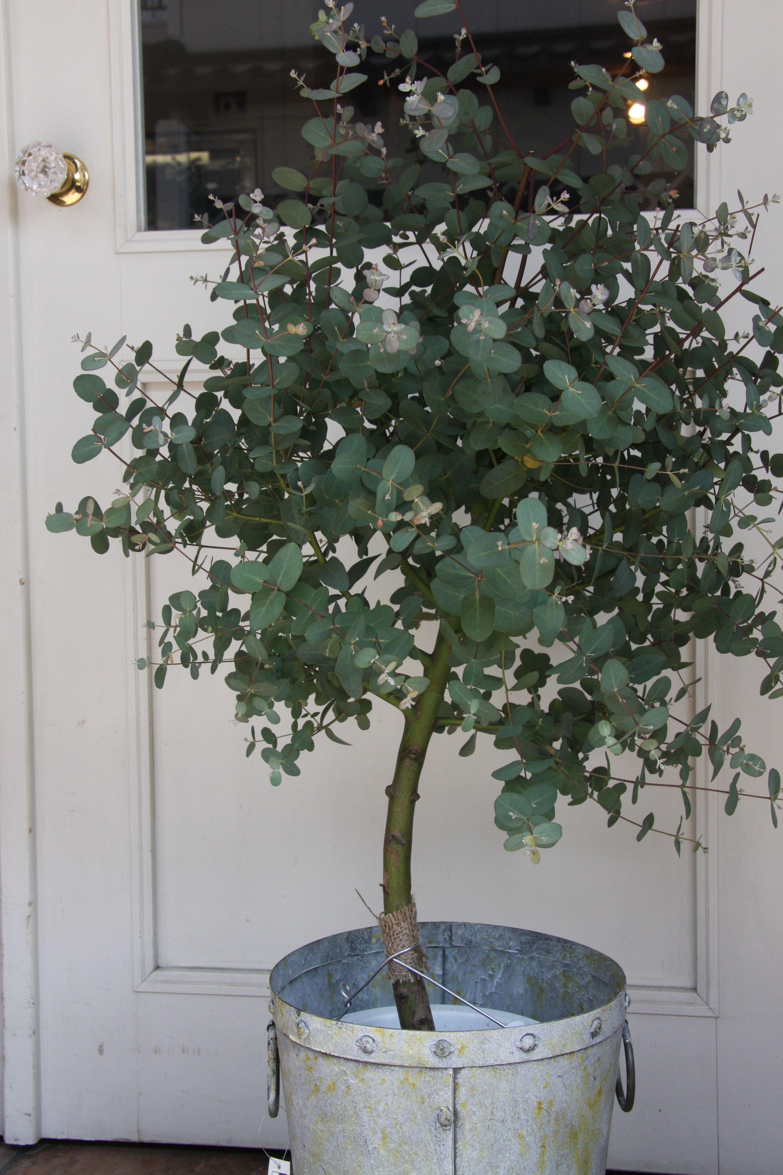 grow eucalyptus jardin pinterest. Black Bedroom Furniture Sets. Home Design Ideas
