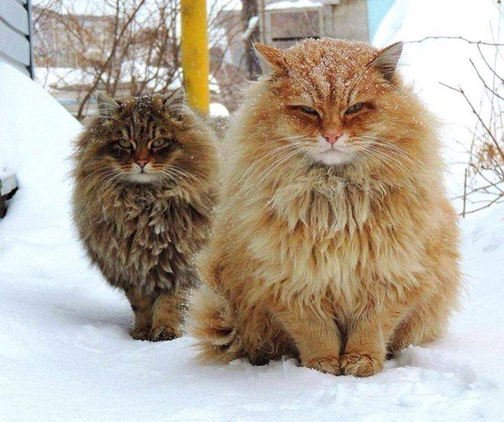 OMG. (Siberian cats waiting for Spring.. - Imgur)