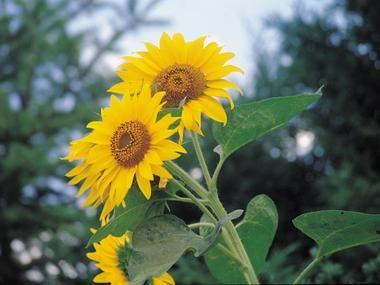 Slonecznik Zwyczajny Jednoroczne I Dwuletnie Baza Roslin Plants Flowers
