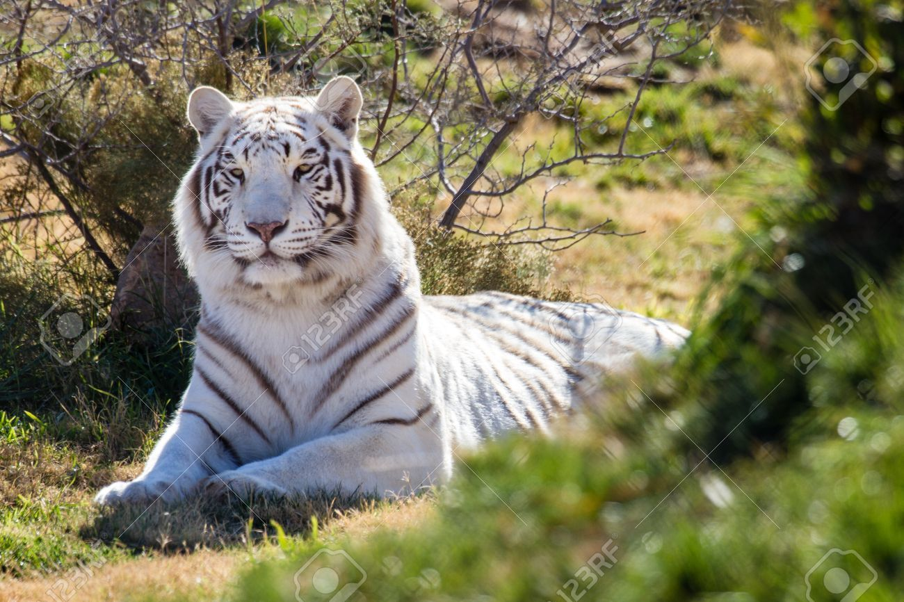 flying white tigers Google Search White tiger, Tiger