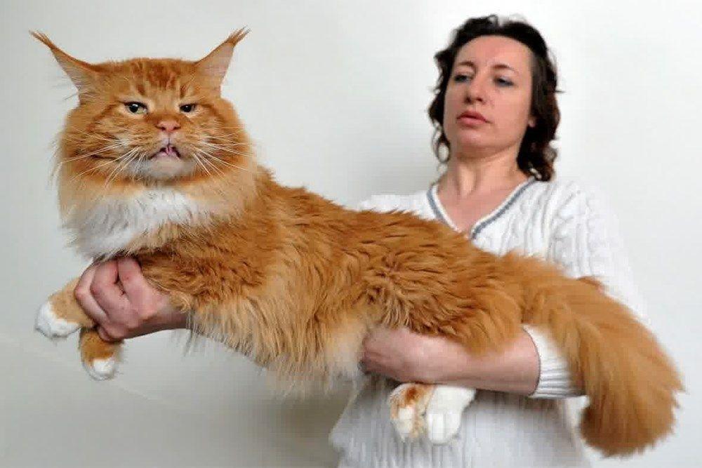 f1c31f5d9 7 curiosidades sobre os adoráveis gatos gigantes da raça Maine Coon ...