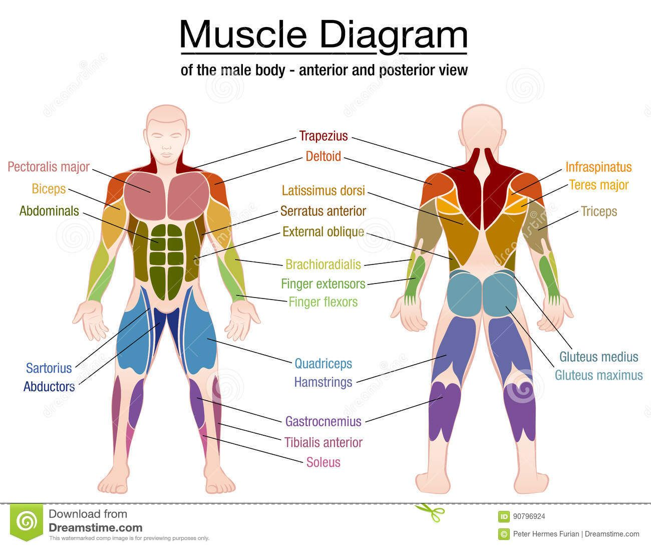 Muscle Diagram Male Body Names Stock Vector