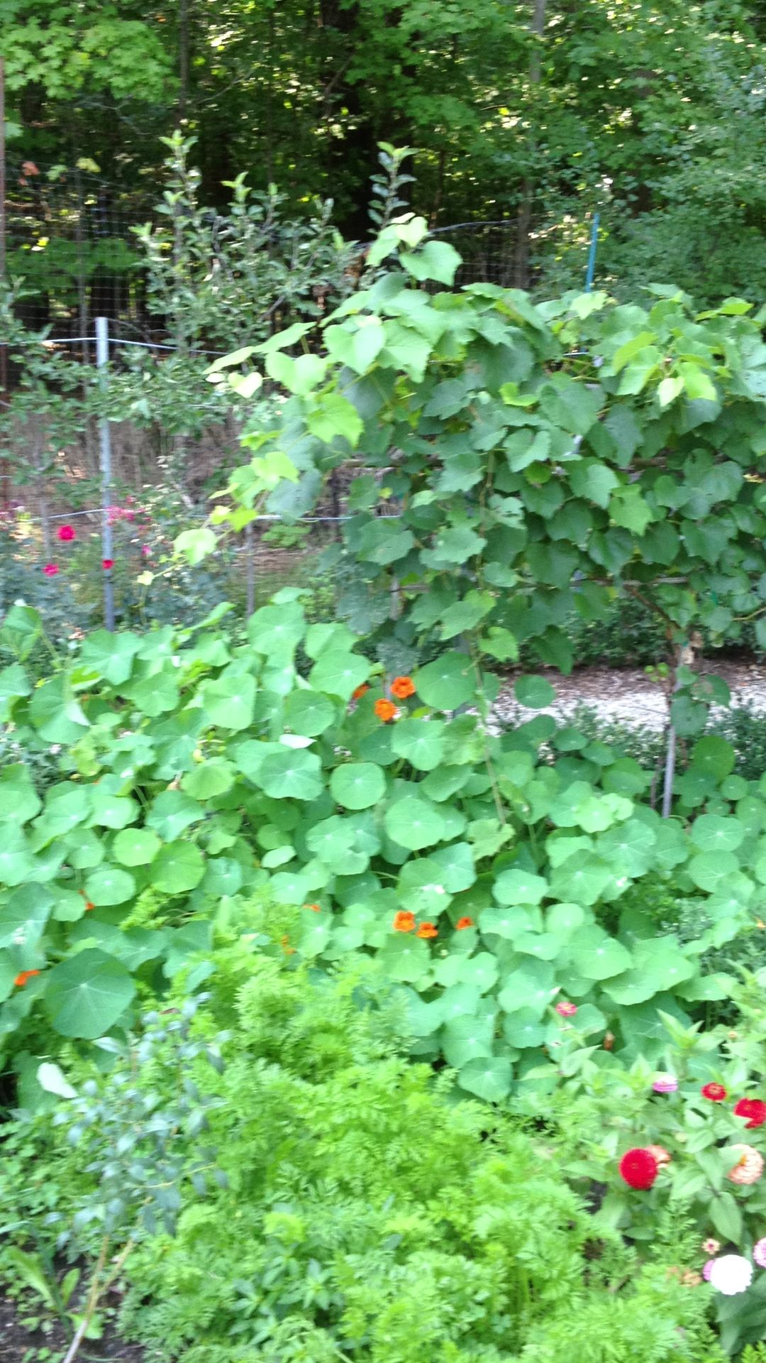 All this from just a few nasturtium seeds