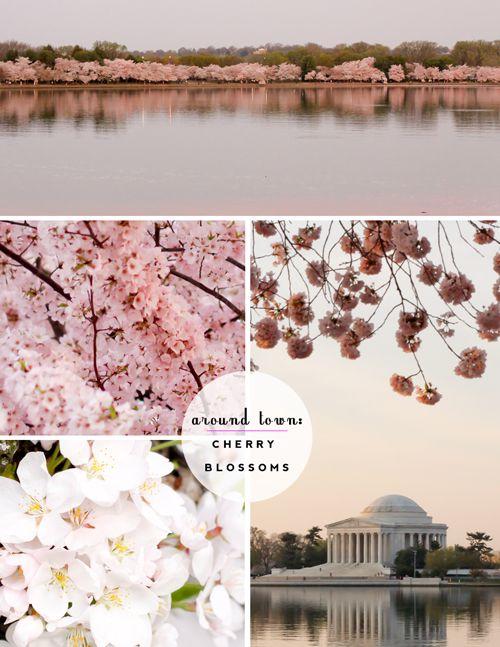 The New Diplomat S Wife Around Town Cherry Blossoms Cherry Blossom Blossom Bloom