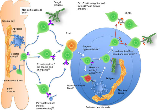 Immunological consequences of developing B-cell receptors (BCR) that recognize their own BCR epitope