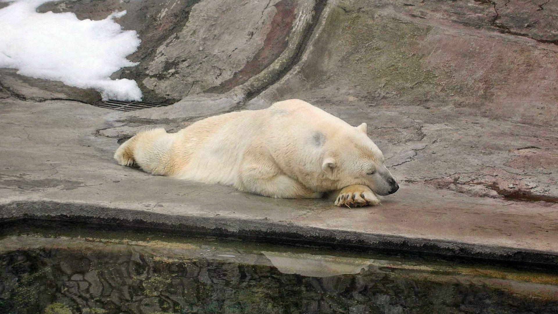 bear, polar bear, nature reserve - http://www.wallpapers4u.org/bear-polar-bear-nature-reserve/