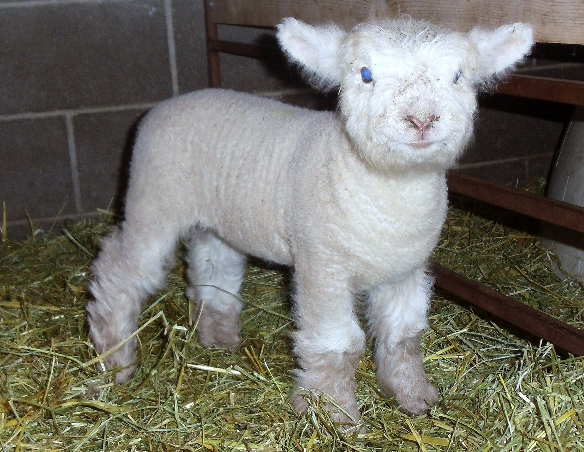 Olde English Baby Doll Miniature Southdown Sheep Baby Animals Cute Animal Pictures Cute Animals