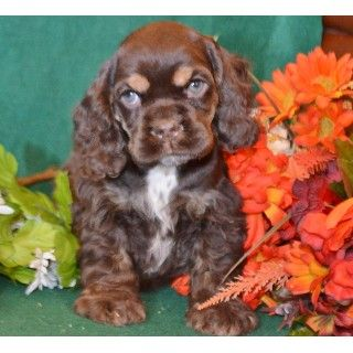Akc Male Chocolate Tan Cocker Spaniel Puppy For Sale Spaniel