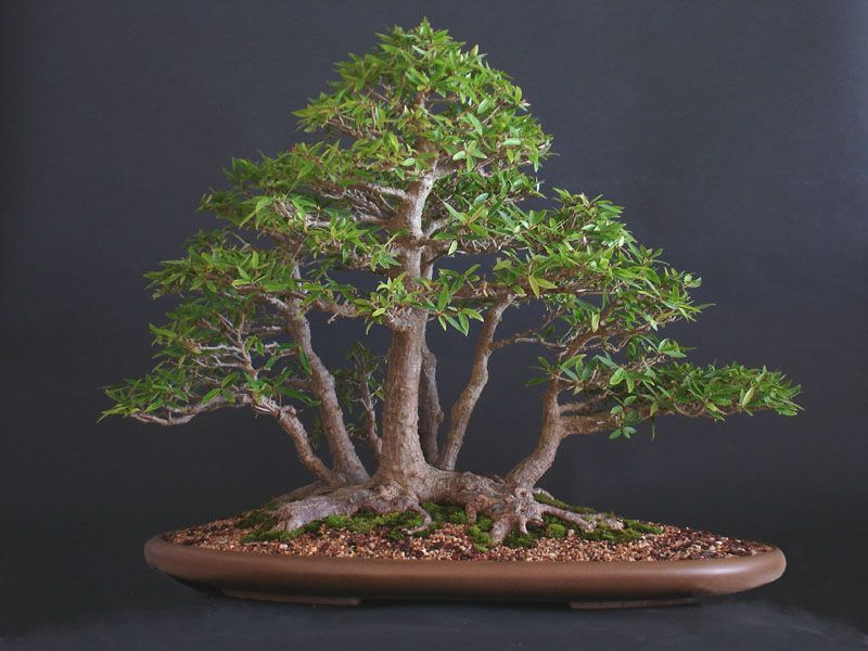 Ficus Nerifolia Bonsai Tree