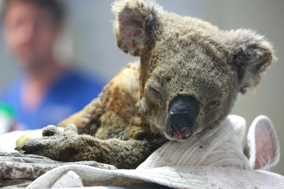 Fires May Have Killed Up To 1 000 Koalas Fueling Concerns Over The Future Of The Species Climateemergency Koalas Functionally Extinc Koala Koalas Koala Bear