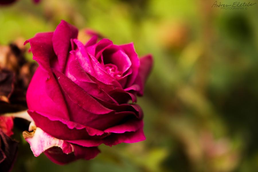magenta roses wallpaper - photo #19