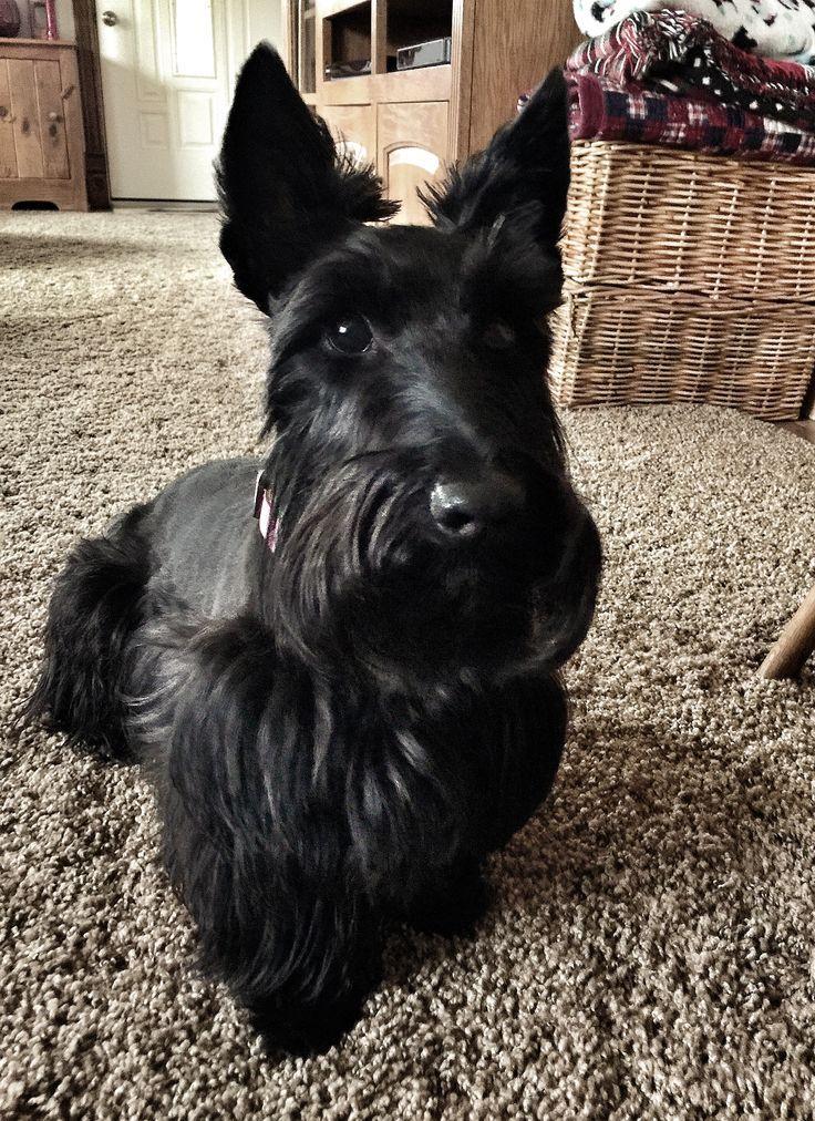 Beautiful And Cute York Terrier Dog: Beautiful Black Scottie Dog