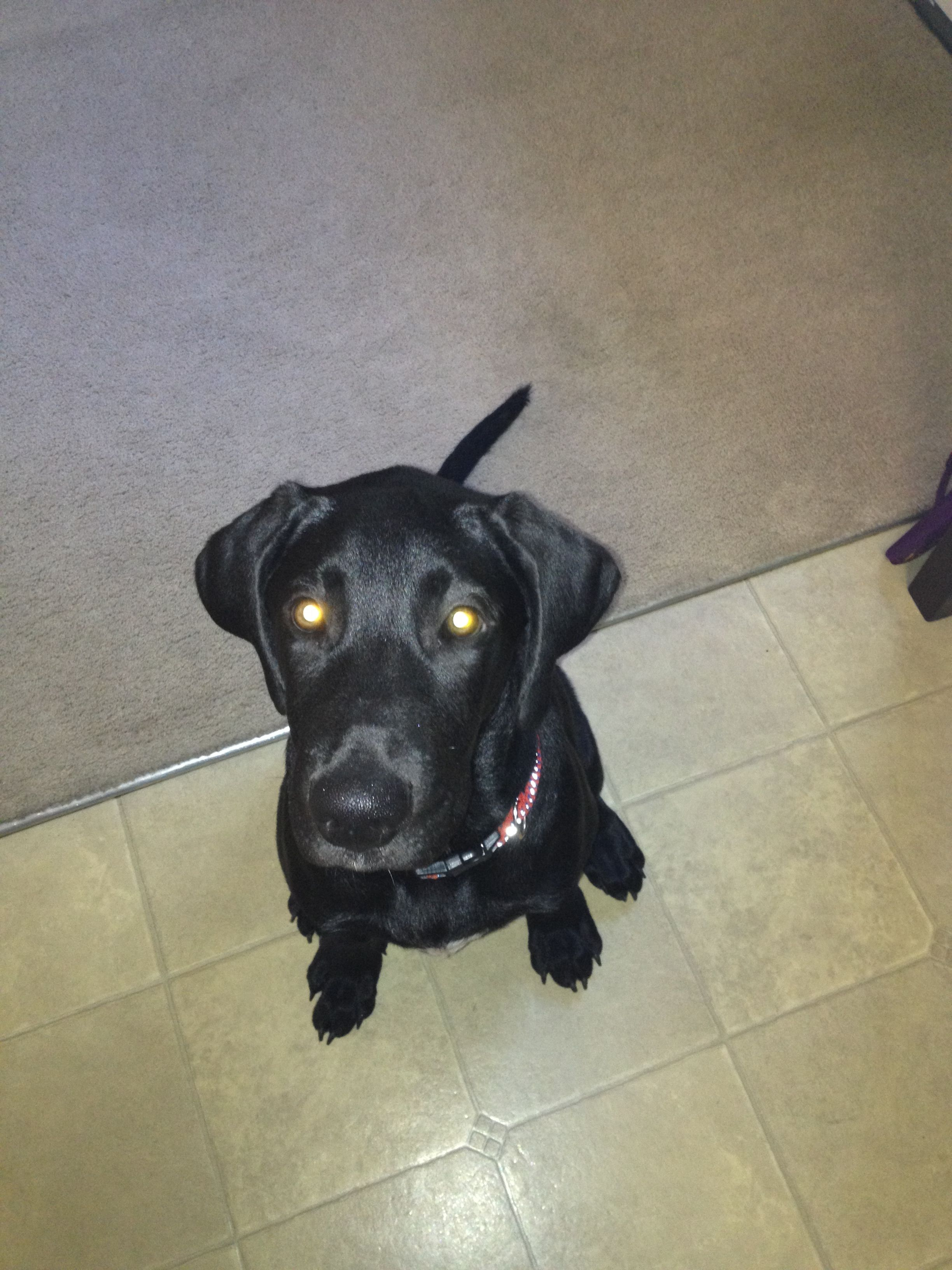 My New Puppy A Black Lab Great Dane Mix Great Dane Mix New