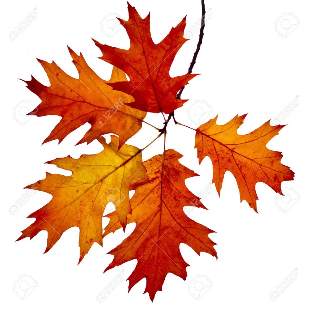 Autumn Twig Of Colored Falling Leafs Of Red Oak Tree Quercus Oak Tree Drawings Red Oak Tree Oak Tree Leaf Tattoo