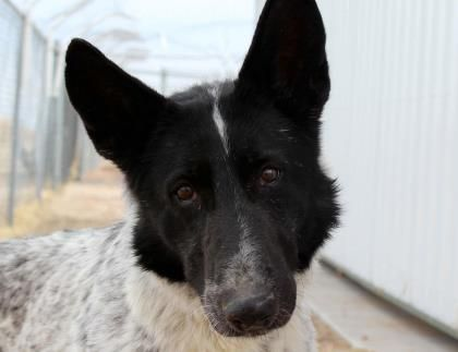 Adopt Blackberry A Lovely 7y 6m German Shepherd Available For Adoption At Petango Com German Shepherd Dogs Rescue Dogs Dogs