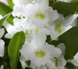 Orchidée dendrobium nobile_03