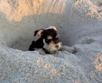 Pin By Vanessa Braxton On Schnauzer Power Schnauzer Puppy Schnauzer Mini Schnauzer