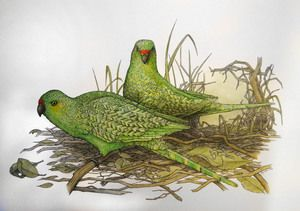 Angus Fisher - 'Western Ground Parrot'
