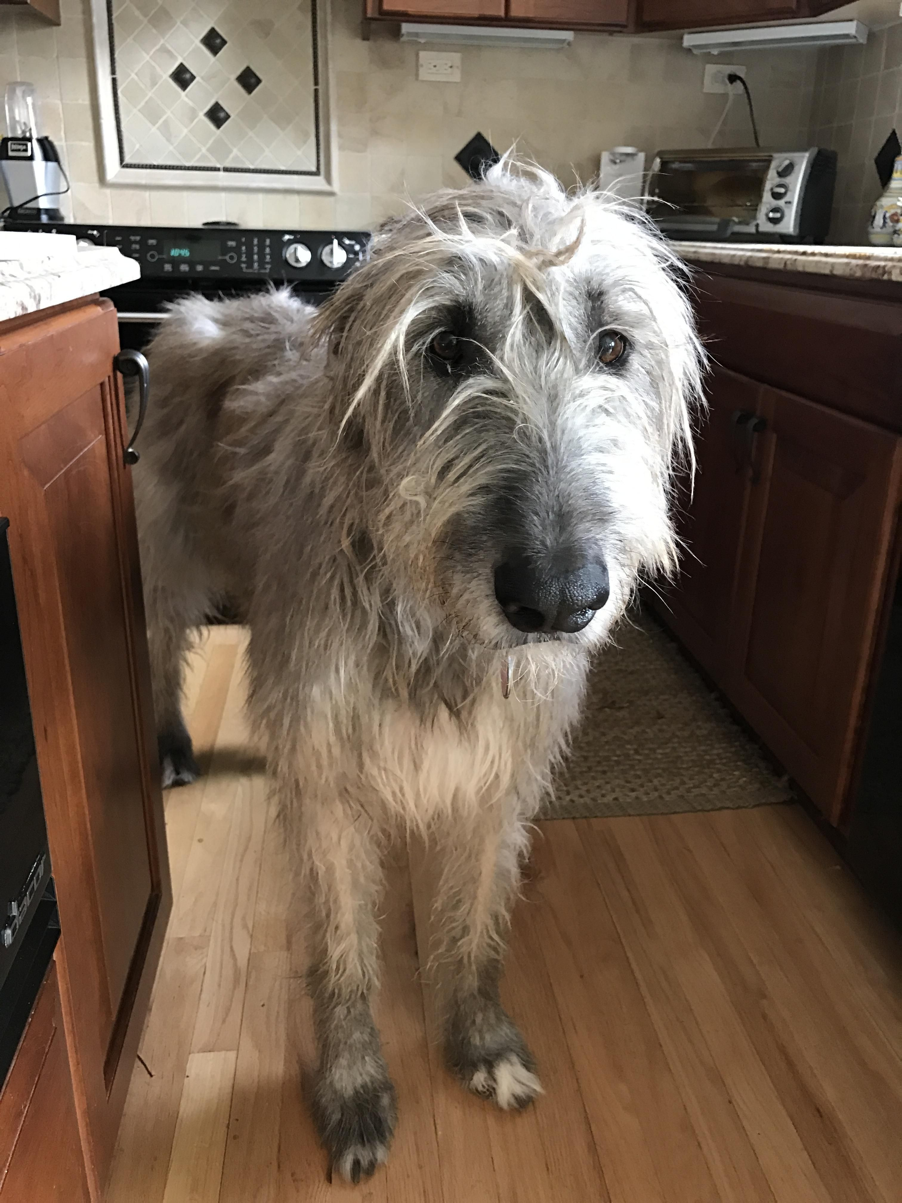 Our Irish Wolfhound Turns 6 This Year She S As Tall As The