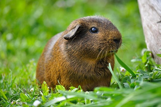 Photo of Guinea pigs for children