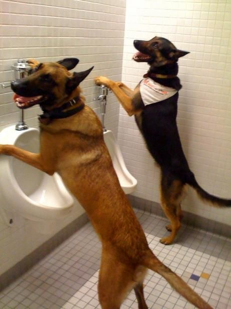 2 Dogs Trained By Sit Means Sit International Dog Training Franchise Company Are Seen Here Using Potty Training Puppy Funny Dog Videos Dog Training Obedience