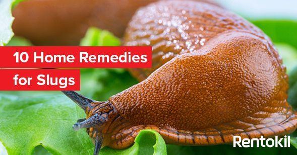 10 Home Remedies For Slugs In 2020 Getting Rid Of Slugs