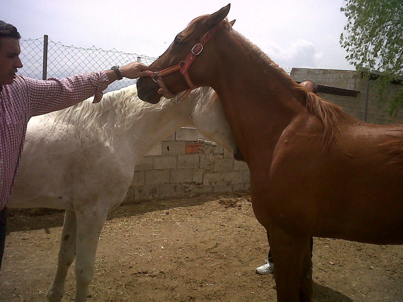 zamira  fue  cubierta  por    este caballo  arabe