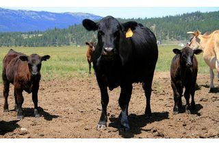 How To Raise Beef Cattle For Profit On A Small Farm Ehow Beef Cattle Cattle Raising Cattle