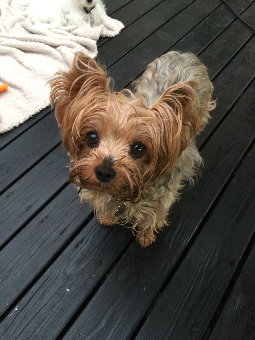 Image result for Yorkie 犬 美しい