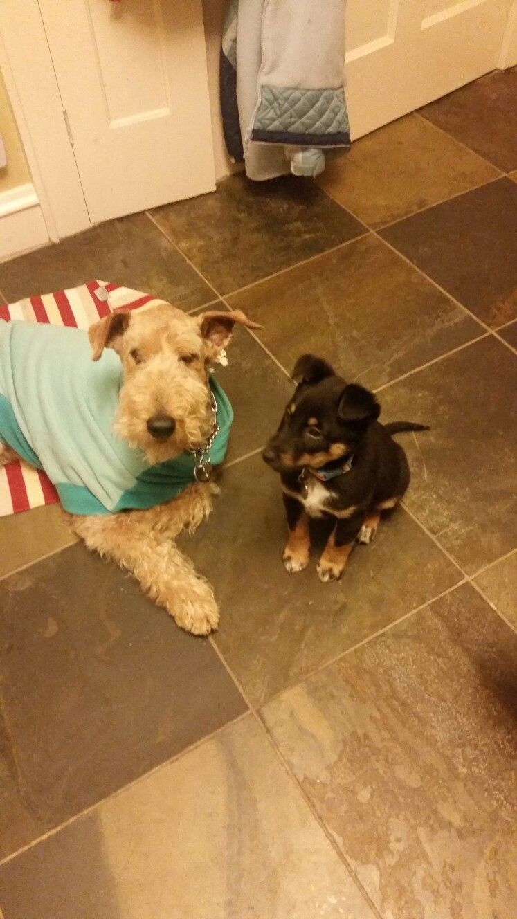 Zoe the Airedale & Laney the Shepherd Mix