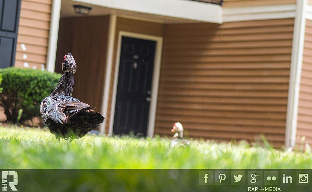Creeper-Ducks   by RAPH - Rapheal Wright