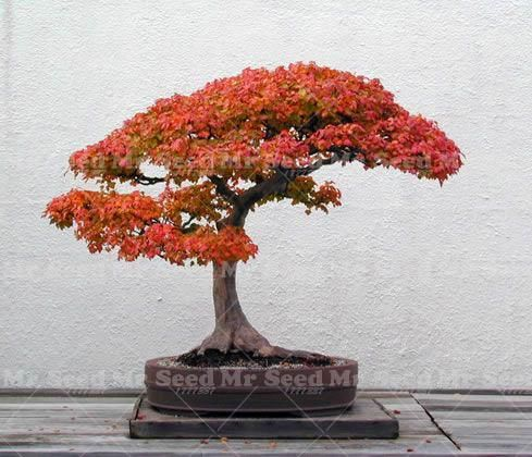 10pcs Potted Plant Seeds 100 True Japanese Red Maple Bonsai Tree Seeds Very Beautiful Indoor Ornamental Tree Garden Potted Maple Bonsai Red Maple Bonsai Bonsai Garden