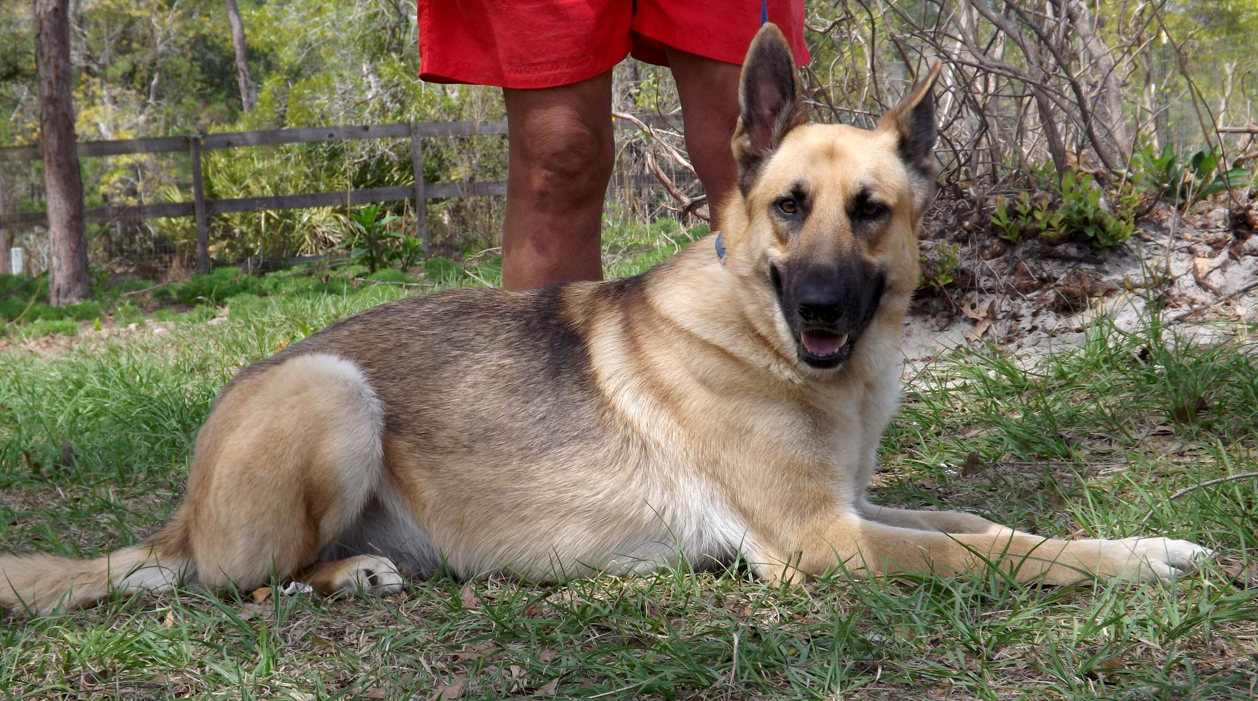 German Shepherd Dog dog for Adoption in Dunnellon, FL. ADN