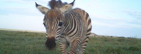 Ein Zebra in der Serengeti