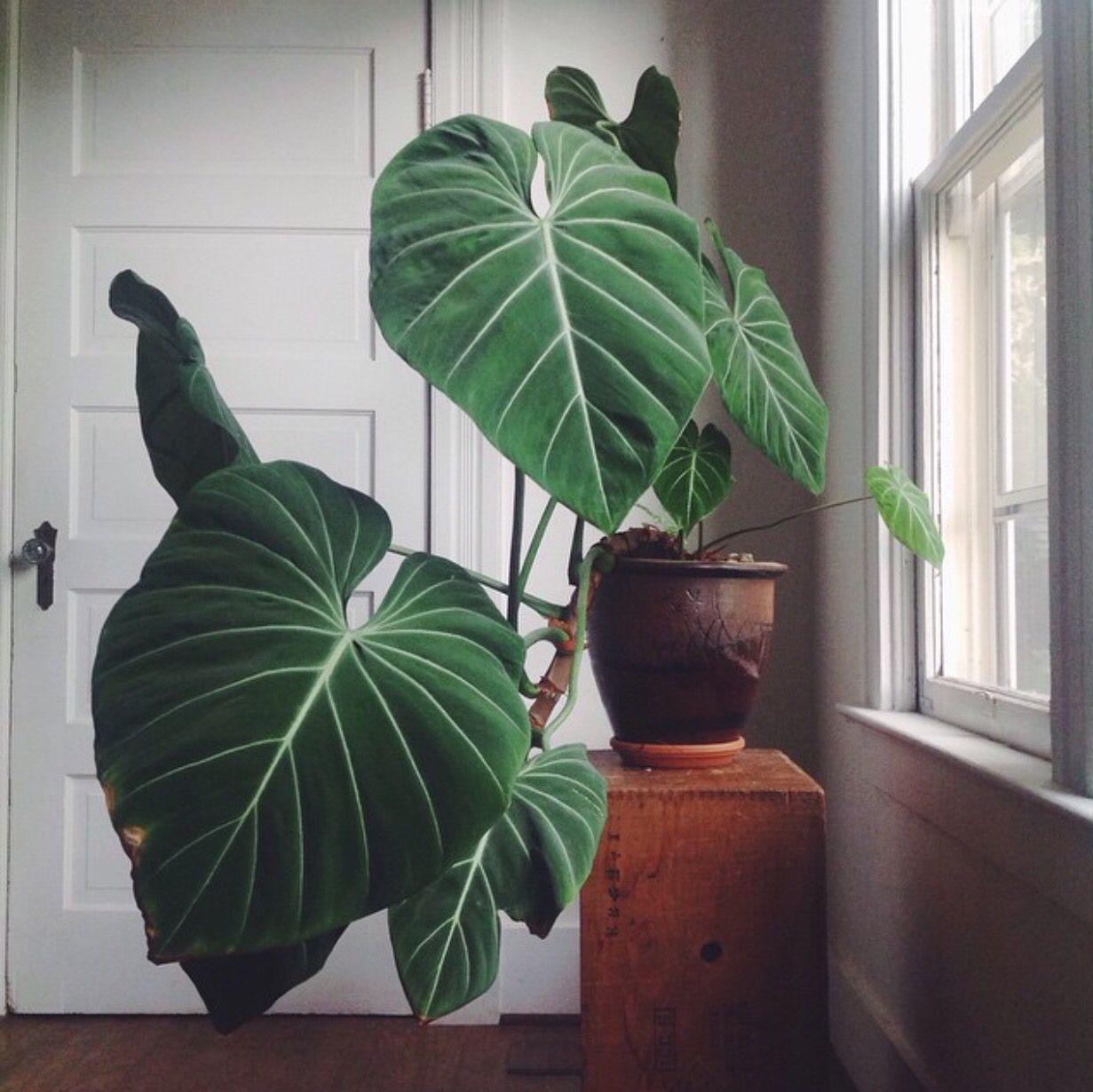 Bildergebnis f r philodendron gloriosum green living for Grune pflanzen fur innen