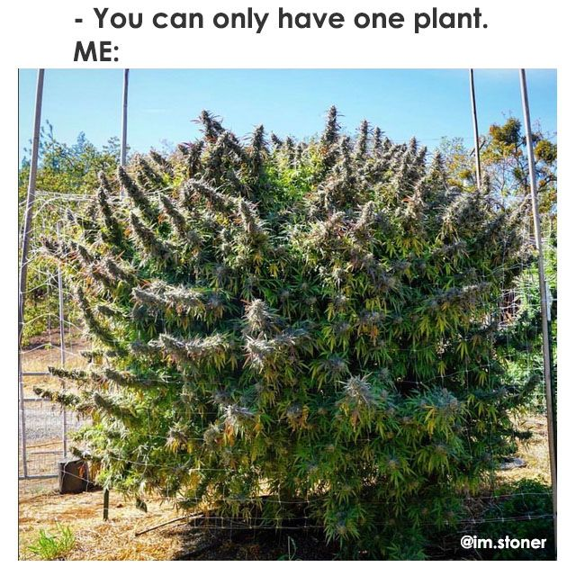 Pin By Kenneth Hammond On Cannabis