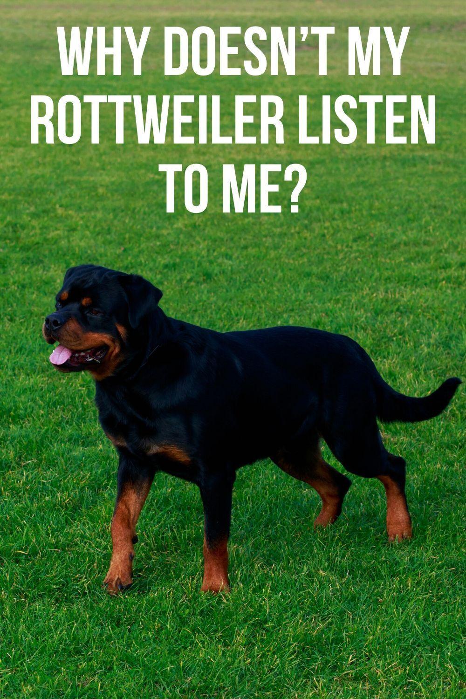 Why Doesn T My Rottweiler Listen To Me Rottweiler Rottweiler