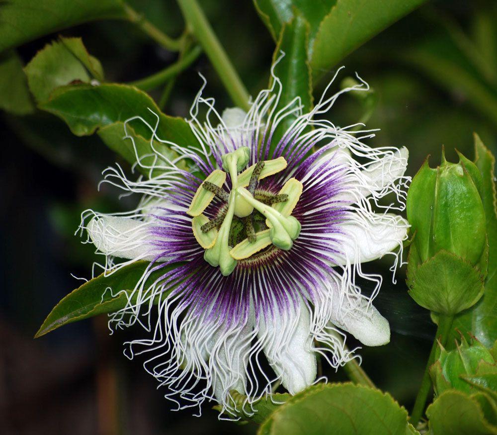 Passiflora edulis purple passion fruit passiflora