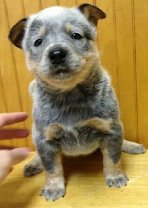 Blaze Australian Cattle Dog 5 Weeks Old With Images Cattle