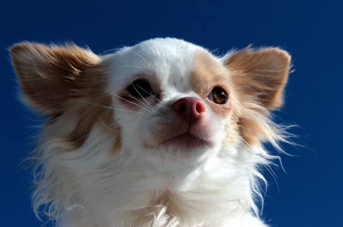Teacup Chihuahua 8 Facts About This Dog Dog Breeds Chihuahua Teacup Chihuahua