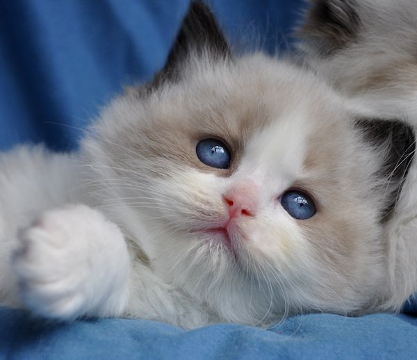 This Adorable Baby Is A Seal Bicolor Ragdoll Kitten He Was Born At Rock Creek Ranch Ragdolls Www Rockcreekranchragdol Kitten Love Ragdoll Cat Ragdoll Cattery