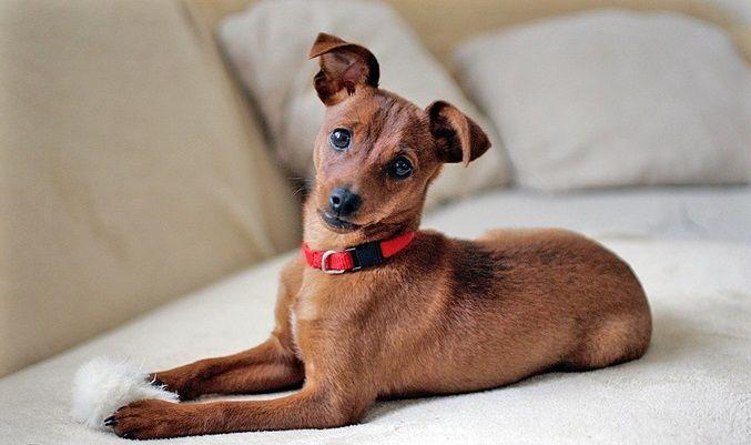 Pin By Javier Garcia On Dogs Mini Pincher My Pin Chihuahua Miniature Pinscher Mini Pinscher Pinscher