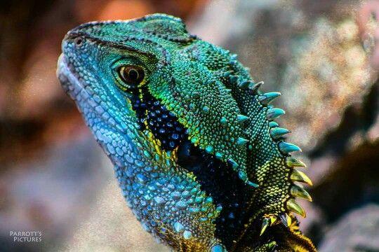 Water Dragon facebook.com/Parrottspics