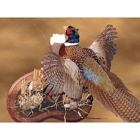 Bird Mounts Birds Photo Galleries Walnut Hollow Country Bird Photo Pheasant Mounts Walnut Hollow