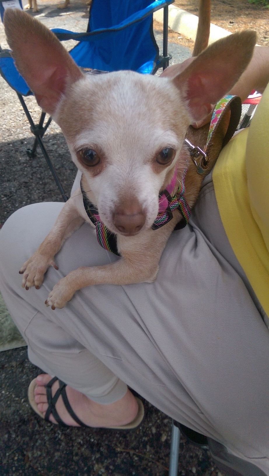 Chihuahua dog for Adoption in Columbus, OH. ADN529461 on