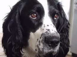 Black and White English Springer Spaniel . . . .such a love!