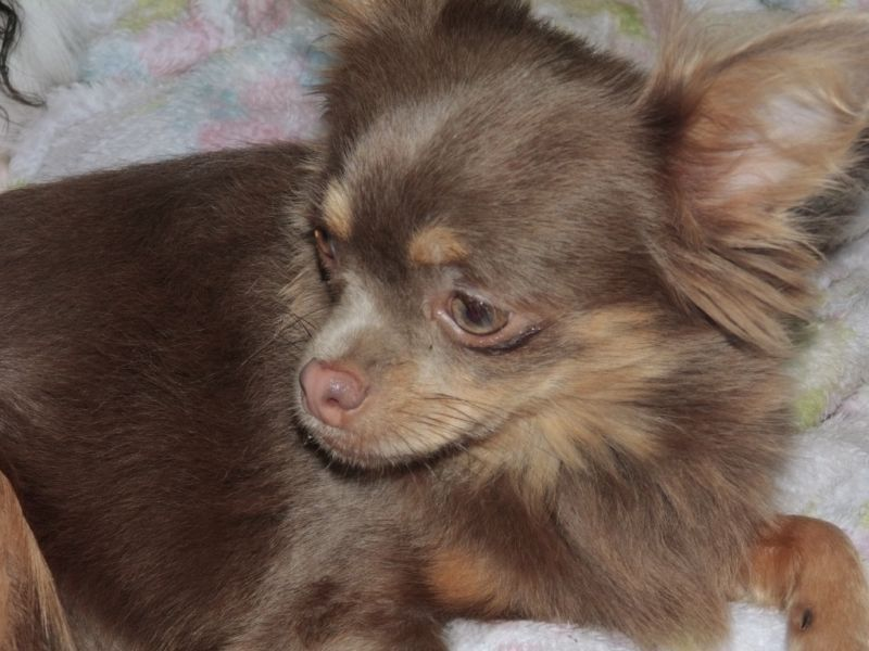 Chihuahua LH Lilac Tan Chihuahua welpen, Haustiere, Tiere