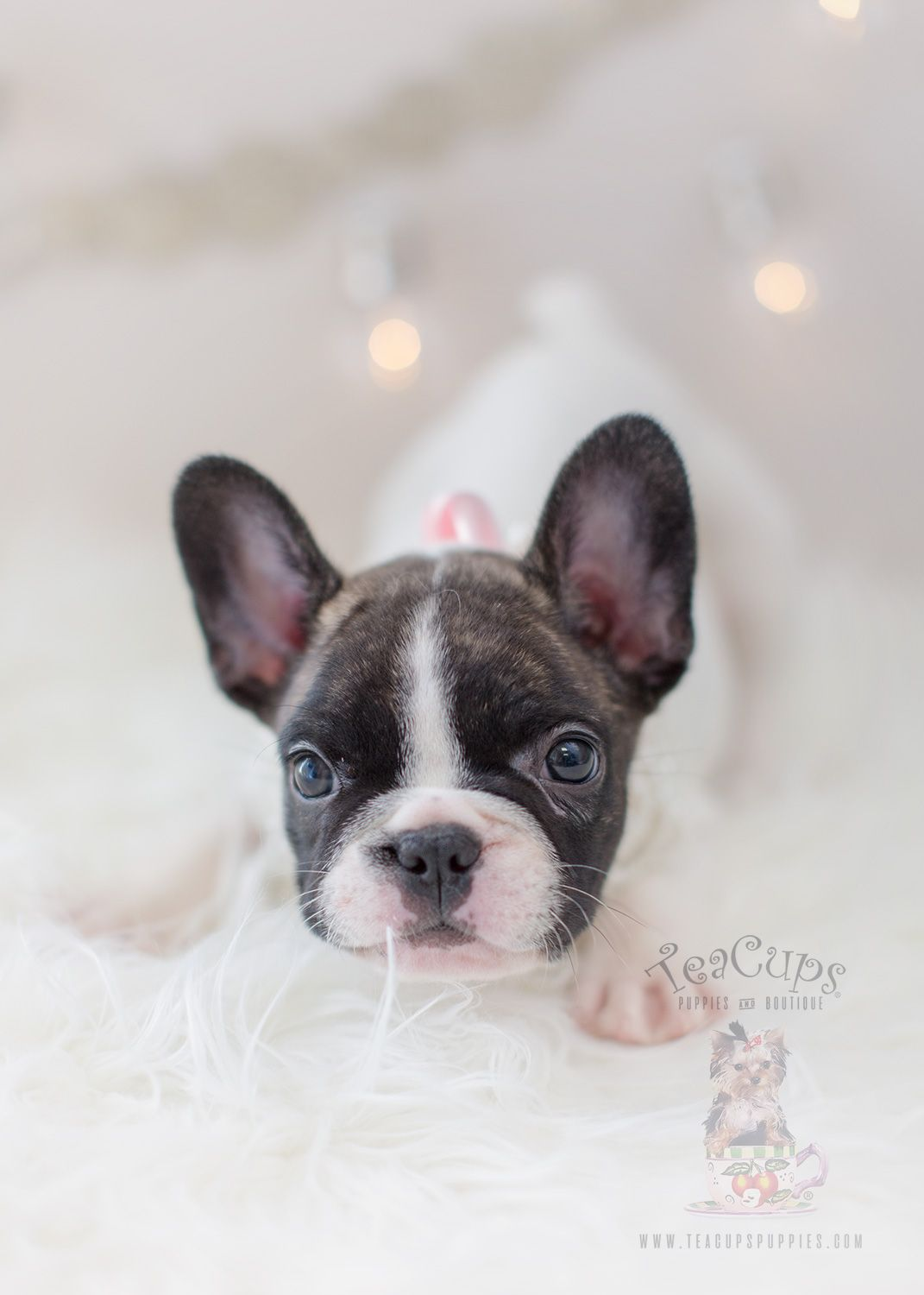 Pin By Ruby Joyce On French Bulldogs Bulldog Puppies French