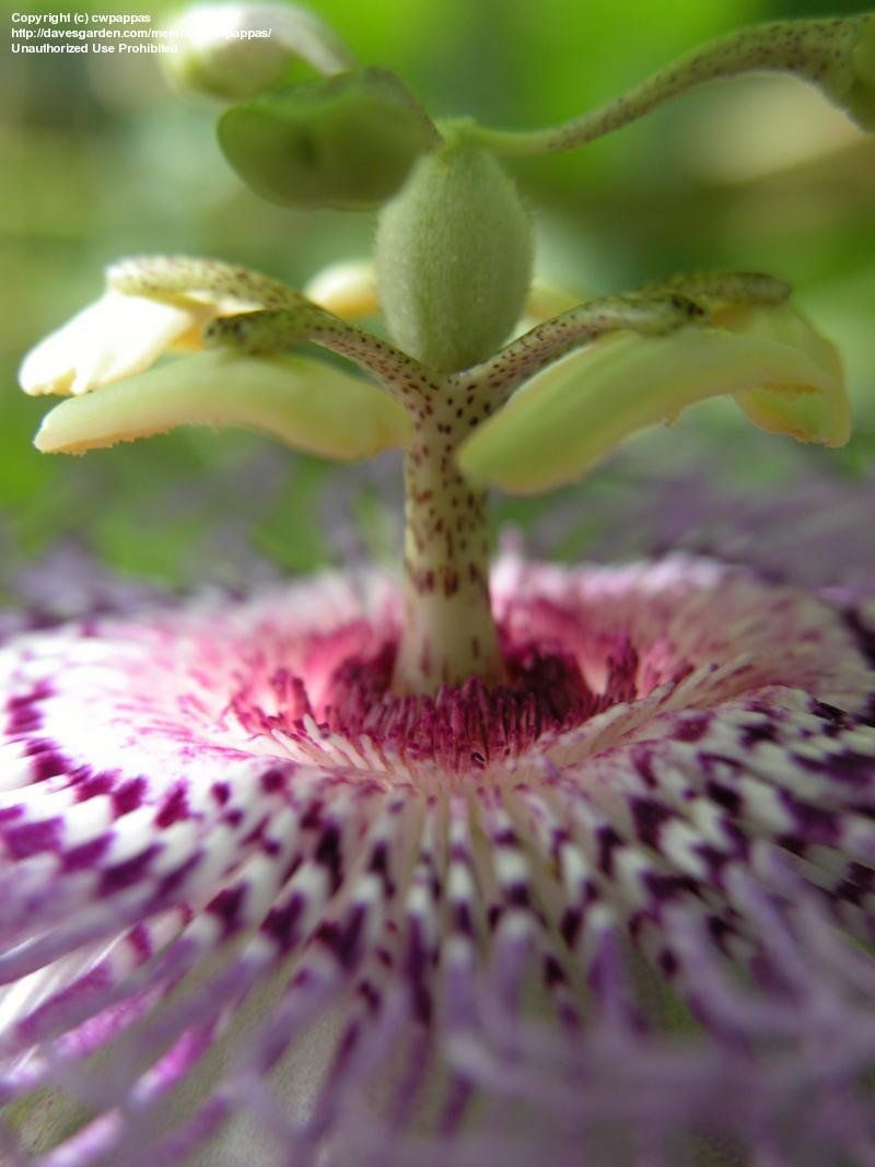 Niagara passion flower with images purple passion