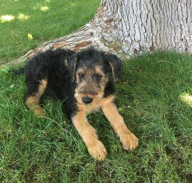 Litter Of 8 Airedale Terrier Puppies For Sale In Phoenix Az Adn